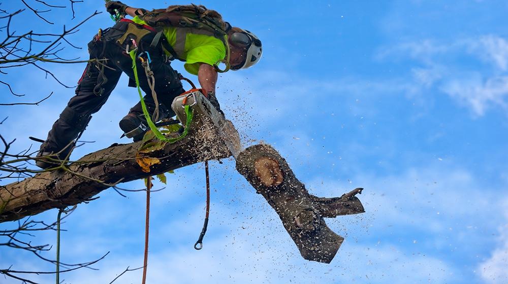 Baumfällung & Baumpflege mit Baumklettertechnik