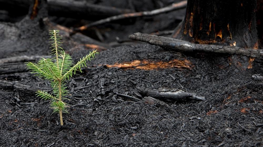 Feuerökologie: Leben nach Brand