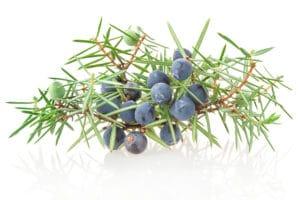 Wacholder-Zweig mit Beeren